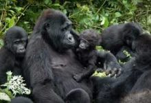 Photo of Tourism: If the mountain gorillas tracking towards country to others it's not a scandal